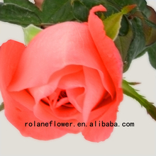 Pure And Mild Flavor Crazy Selling Fresh Cut Rose Red Spray Rose 20 Stems/Bundle Movie Star Rose From Rolane/YunNan