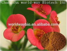 High quality flower extract of crown of thorns /10:1 20:1 holy thorns herbal plant extract