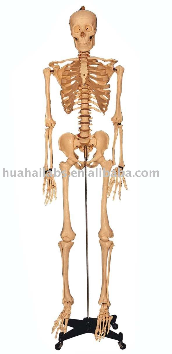 biology,human skeleton,laboratory biology equipment,lab supply, Skeleton