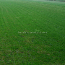 Good quality Bermuda grass seeds/ Cynodon dactylon seeds for planting