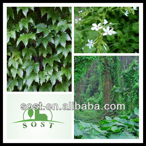 factory supply pure natural Chinese Ivy Stem Extract