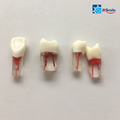 Dental Root Canal training model M8006/Root canal endo studying block/dental study model/dental tenching tooth model