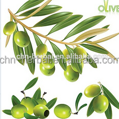 Olive leaf herbal plant botanical extract / Hydroxytyrosol / Olive leaf extract / The Most Powerful Natural Antioxidants