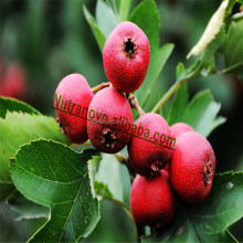 Vitexin rhamnoside Hawthorn Leaf Extract and Hawthorn flavonoids berry extract