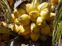 Cocos nucifera malay yellow (Yellow Coconut)