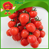 High quality cherry tomatoes for sale, organic cultivated
