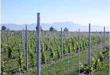 metal grape pole stakes/ galvanized steel vineyard trellis post