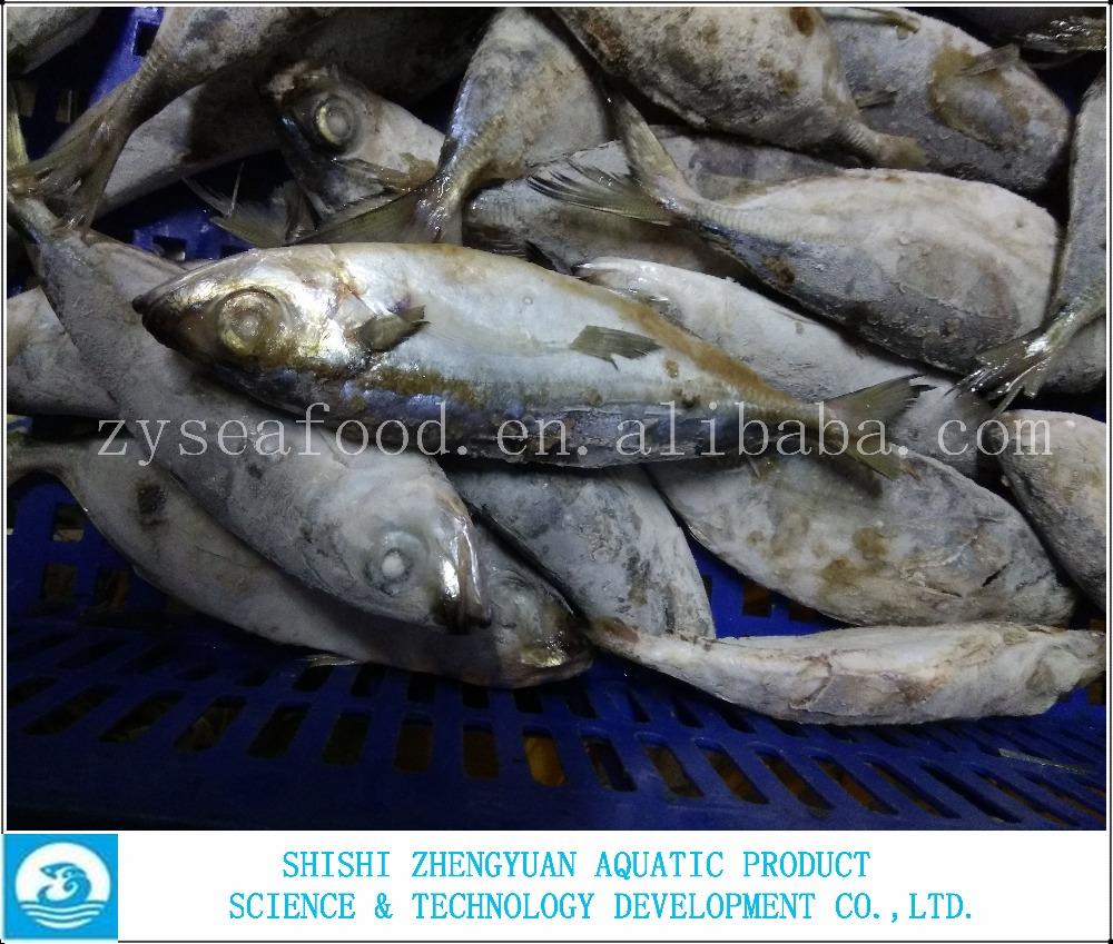 Frozen big eye horse mackerel fish buy frozen horse for Does frozen fish go bad