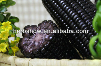 Black Purple Hybrid maize corn seed for planting