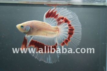 Betta fish buy betta fish product on for How big can a betta fish get