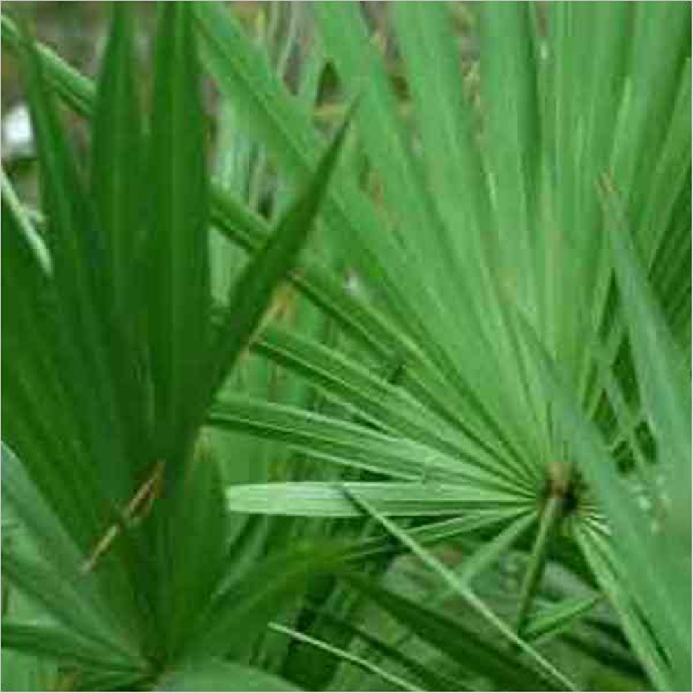 Natural organic Saw Palmetto Extract Fatty acid in bulk stock, welcome inquries
