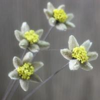 Edelweiss Leontopodium alpinum flower