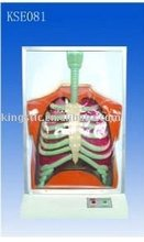 Anatomical model electric human respiratory system model
