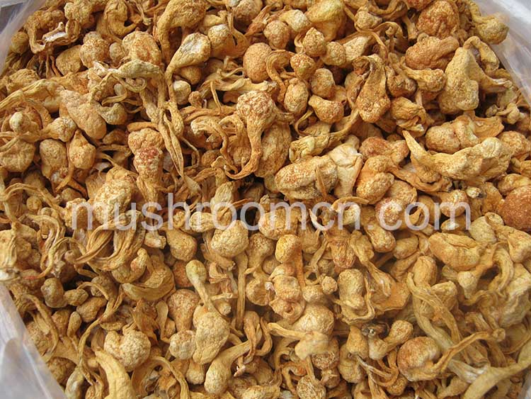 Chinese Dry Cordyceps Fungi Fruit Body