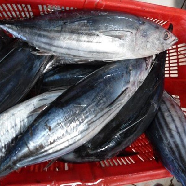 import export seafood fish wholesale frozen skipjack whole round, sea food frozen skipjack tuna price