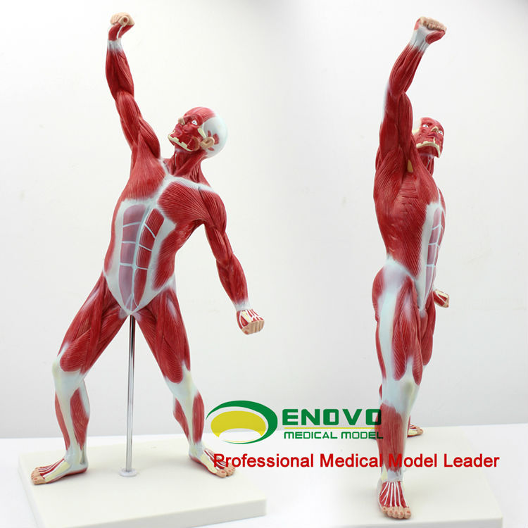 Wholesale Muscle Anatomy 12028 New Medical Mini Desktop Full Body