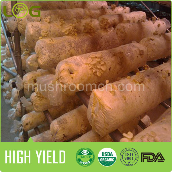 800-1200 gram per piece output oyster equipment for growing fresh oyster mushroom 1kg price