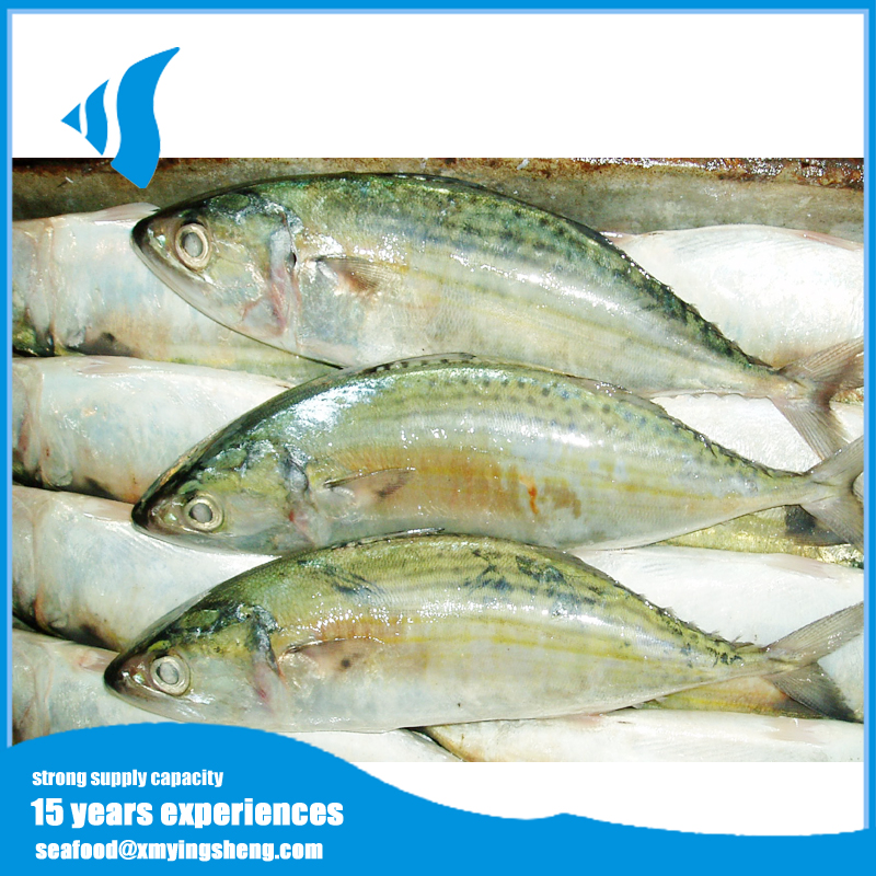 Price Frozen Indian Mackerel fish for Marketing sale