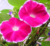 Qian niu hua Morning glory seeds Petunia Flower seeds for planting