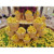 Montale High Nutrition Fresh Lime Importer Good Price Lemon