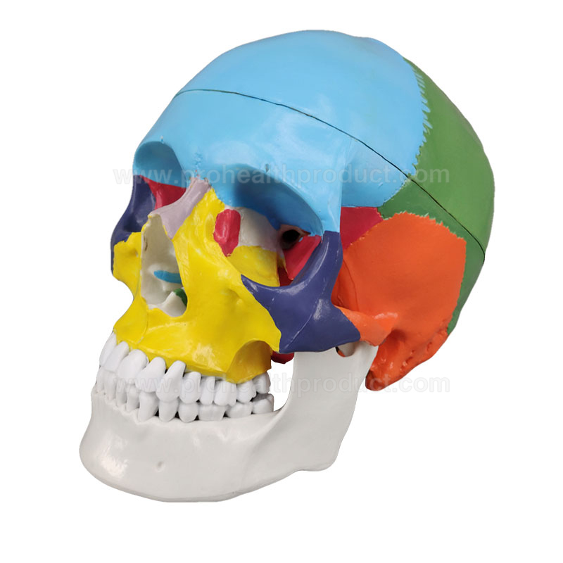 Life-Size PVC Plastic Medical Anatomical Colored Human Skull Model