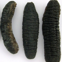 Sea Cucumber Best Quality 95% Dry !!