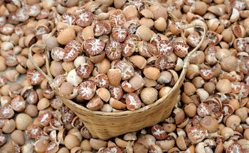 Betel Nut For Sale Grade A