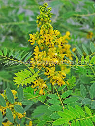 High quality senna leaf extract powder Manufacturers