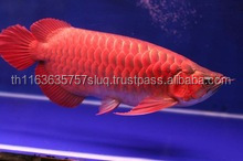 Buy Super red arowana fish for sale of all Sizes
