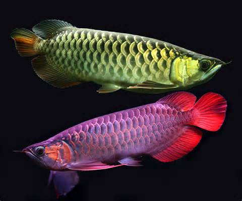 Super Red, Asian Red, 24k Golden and Other Arowana Fishes.