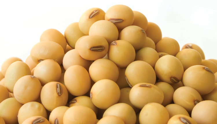 Good Quality Dried Soybean- Soybean Seed