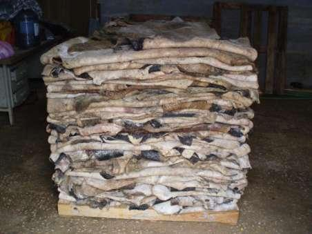 Raw Wet Salted Cattle Hides | Cow Skins /buffalo hide ready for sale