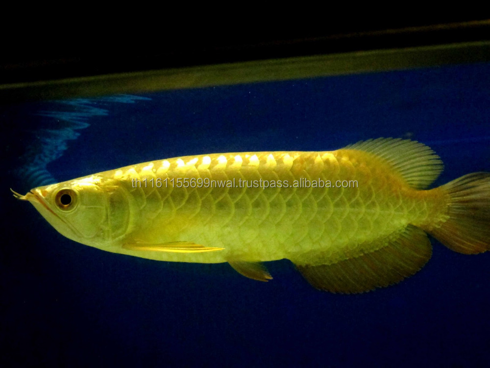 Asian Red/ Chili Red /Super Red Arowana Fish for Sale.