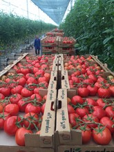 (HOT) Fresh Tomatoes for Sale