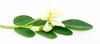 Miracle Moringa Powder Comes From Its Leaf