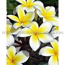 Reliable Supplier for Frangipani Pure Absolute Oil