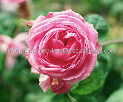 Rose Absolute - 100% Pure & Natural