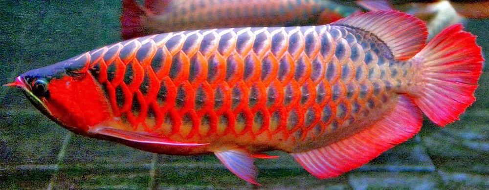 Cheap Super Red Arowana Fish For Export
