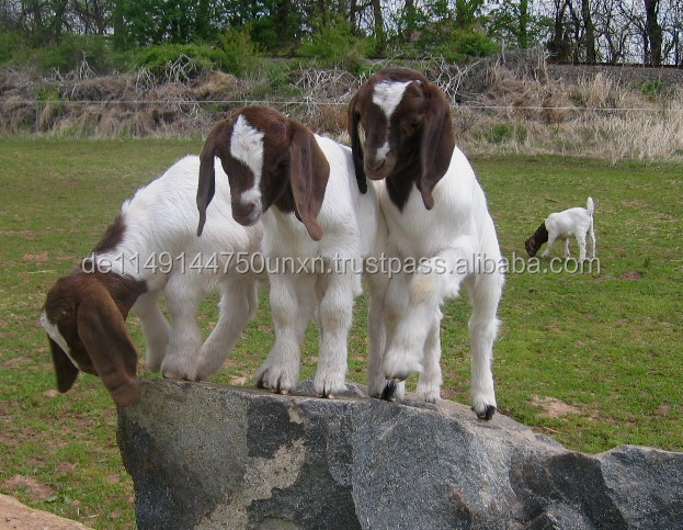 Live and Pregnant Boer/Saanen Goats---