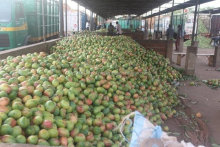 Fresh Mango Fruits for sale at discount rate
