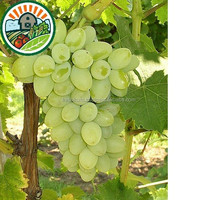 Best Taste of 100% Natural Fruit from Viet Nam with High Quality and Reasonable Price Individual Quick Frozen Grape