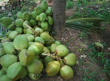 Fresh Young coconut Suppliers from India/Tender Coconut
