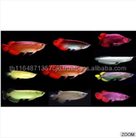 Flower Horn Fish / Chili Red Arowana Fish / Black Diamond Stingray