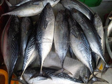 Frozen fish bonito tuna WR frigate tuna for sale