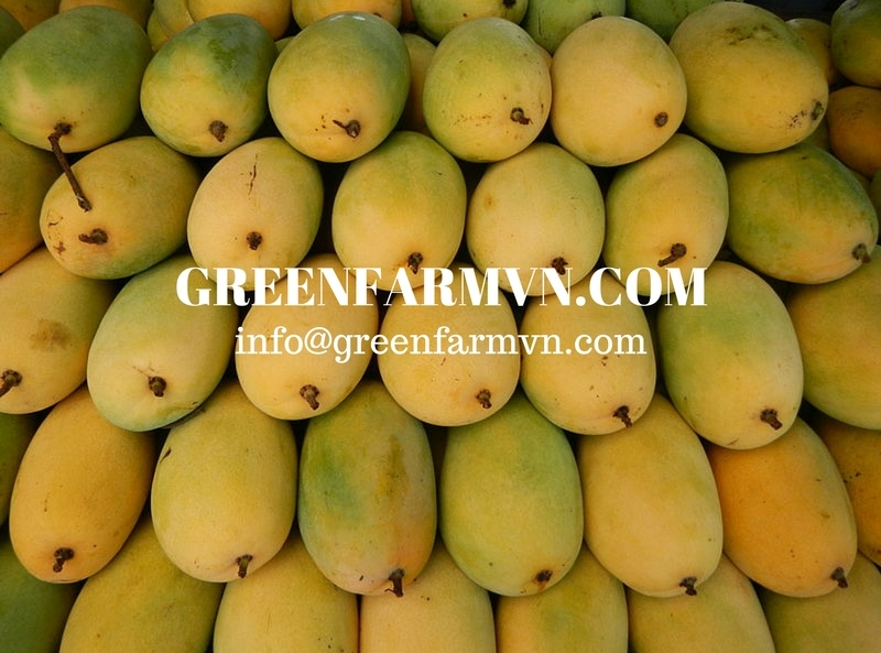 Fresh (Cat chu - Hoa loc) Mango fruit from Vietnam - Good price
