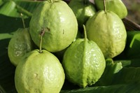 FRESH GUAVA - EXPORTED QUALITY - GOOD PRICE FROM VIETNAM
