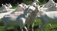 Live Goat - Live Sheep - Live Cattle - Halal Meat - Halal Goat Meat