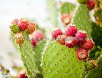 PURE ACAI PRICKLY PEAR SEED OIL FOR COSMETIC, SOAP, AROMATHERAPY AND SPA