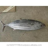 Frozen fish seafood Bonito(Bullet Mackerel ) Fresh /Frozen Grade A HOT SALES