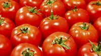 GRADE A Fresh Red Farm Harvested Tomatoes